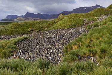 King penguin (Aptenodytes patagonicus) colony on hillside, Salisbury Plain, South Georgia, South Atlantic, January 2012.