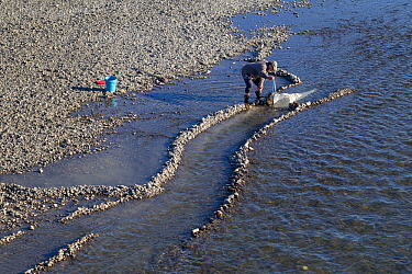 Fisherman using a hand-net to catch New Zealand whitebait, the juvenile form of five species of Galaxiidae fish, considered a delicacy, Tuki Tuki River, Hawkes Bay, New Zealand, September 2011.