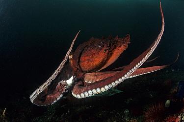 Pacific octopus (Octopus dofleini) Vancouver Island, British Columbia, Canada, Pacific Ocean