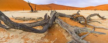 Dead Camel thorn trees (Vachellia / Acacia erioloba) with distant sand dunes, Deadvlei, Namib-Naukluft National Park, Namibia, Africa, June 2015.