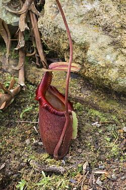 Pitcher Plant (Nepenthes x kinabaluensis) a natural hybrid species. Mount Kinabalu, Sabah, Borneo.