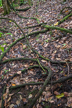 Liana (Tetrastigma sp) on which Rafflesia grows parasitically, Sabah, Borneo.