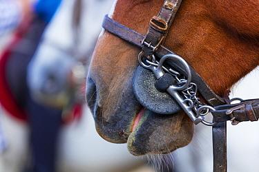 Close up of a bridled horse wearing a pelham bit. Sierra de Gredos, Avila, Castile and Leon, Spain.