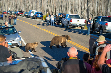 Traffic jam caused by Grizzly bear (Ursus arctos horribilis) mother and cubs crossing road, watched by tourists and photographers, Yellowstone National Park, Wyoming, USA, October 2015.
