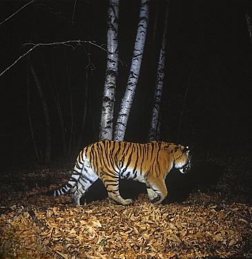 Camera trap image of wild Siberian tiger (Panthera tigris altaica) walking through woodland, Lazovsky Zapovednik Nature Reserve, Primorsky Krai, Far East Russia, November 1994