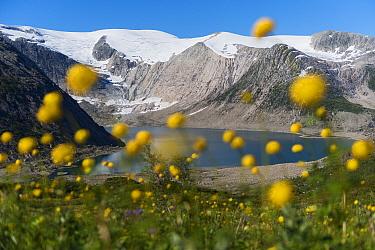 Globe-flower (Trollius europaeus) flowering in front of the Svartisen ice cap and the Flatisvatnet lake, Glomdalen, Saltfjellet-Svartisen National Park, Norway, August 2015.