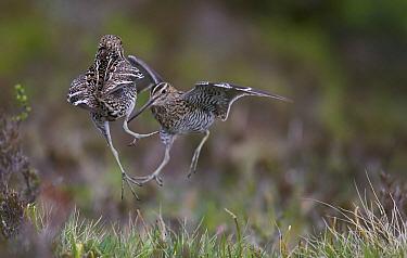 Great snipe (Gallinago media) two males fighting at lek, Norway, June.