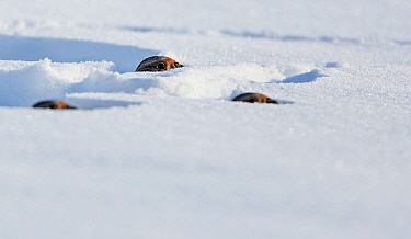 Three Grey partridges (Perdix perdix) looking out from holes in snow, Lapinjarvi, Finland, February.