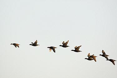 Common scoters (Melanitta nigra) flying, Porvoo, Finland, May.
