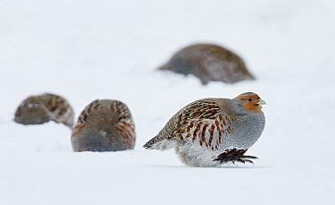 Four Grey partridges (Perdix perdix) on snow, Kauhajoki, Finland, January.
