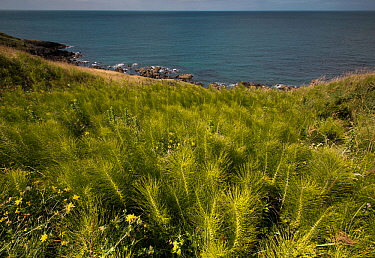 Common Horsetail (Equisetum arvense) growing on the Llyn Peninsular coast, near Nefyn, North Wales