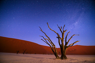 Ancient dead Camelthorn trees (Vachellia erioloba) at night with red dunes behind. Namib desert, Sossusvlei, Namibia. Composite.