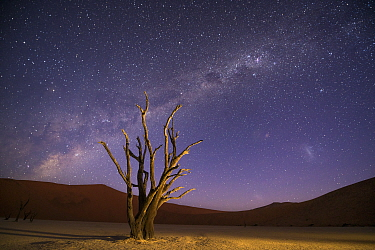 Ancient dead Camelthorn trees (Vachellia erioloba) with red dunes and the milky way behind, Namib desert, Sossusvlei, Namibia. Composite.