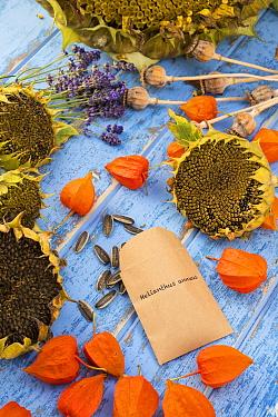 saving, drying, seed, storing, seedheads, collecting, garden, envelopes, wriiten, storage, propagation,, Norfolk, England UK. October