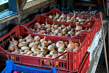 Onions stored in pallets in outbuilding, Norfolk, England UK. October