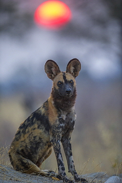 African wild dog (Lycaon pictus)  portrait, Okavango Delta, Botswana.