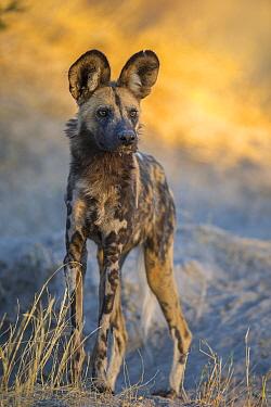 African wild dog (Lycaon pictus) portrait, Okavango Delta, Botswana