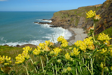 Kidney vetch (Anthyllis vulneraria) flowering on slumping cliff, Widemouth Bay, Cornwall, UK, May.
