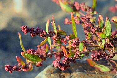 Spear-leaved orache (Atriplex prostrata) flowering high on a sandy beach, near Bude, Cornwall, UK, September.