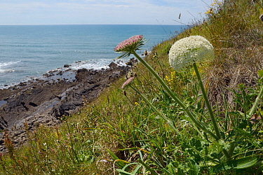 Wild Carrot (Daucus carota) flowering on a cliff, Widemouth Bay, Cornwall, UK, June.