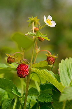 Wild strawberry (Fragaria vesca) with flowers and fruit in a culm grassland meadow, Devon, UK, June.