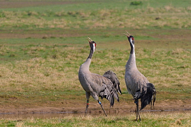 Common / Eurasian crane (Grus grus) pair Monty and Chris released by the Great Crane Project, bugling in unison on partially flooded pastureland to proclaim ownership of their territory, Slimbrigde, G...