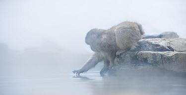 Japanese macaque (Macaca fuscata) baby reaching towards steam from hotspring, Jigokudani, Nagano, Japan. February.