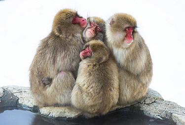 Japanese macaque (Macaca fuscata) group huddling up together, Jigokudani, Nagano, Japan. February.