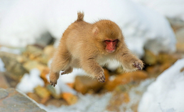 Japanese macaque (Macaca fuscata) youngster jumping over small stream, Jigokudani, Nagano, Japan. February.