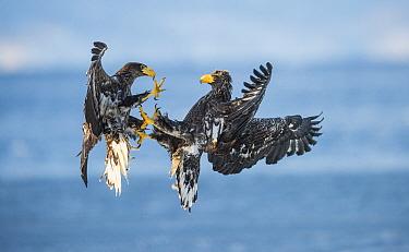 Steller's sea eagle (Haliaeetus pelagicus) two subadults fighting in midair, Shiretoko Peninsula, Hokkaido, Japan