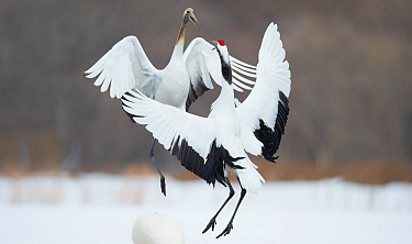 Japanese cranes (Grus japonensis) in courtship dance,  Hokkaido Japan, March.