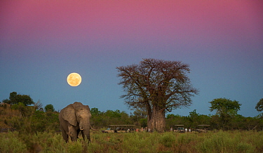 African elephant (Loxodonta africana) grazing in an open field with a full moon rising near Baobab tree (Adansonia digitata). With tourists on safari under the tree.  Savuti Marsh, Botswana, May 2014.