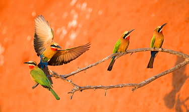 White-fronted bee-eaters (Merops bullockoides) perched near to nesting holes Chobe National Park, Botswana.