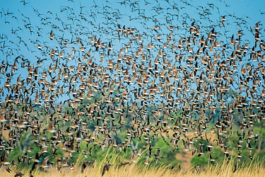 Large flock of Collared pratincoles (Glareola pratincola) taking off from floodplains, Chobe River, Botswana.