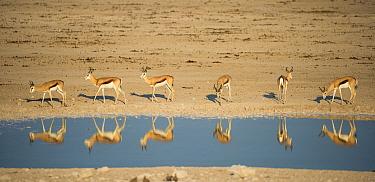 Springbok (Antidorcas marsupialis) herd reflected in waterhole. Etosha National Park, Namibia, June.