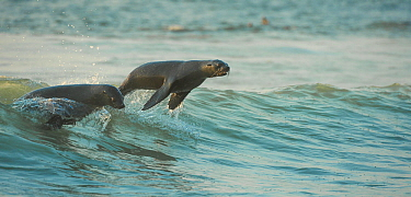 South African fur seals (Arctocephalus pusillus pusillus) surfing out on wave.Walvisbay, Namibia.