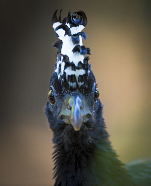 Bare-faced curassow (Crax fasciolata) portrait of female, Pantanal, Brazil.