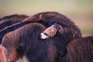 Giant anteater (Myrmecophaga tridactyla) walking with its baby on the back. Pantanal, Brazil.