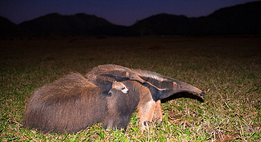 Giant anteater (Myrmecophaga tridactyla) walking with its baby on the back at twilight, Pantanal, Brazil.