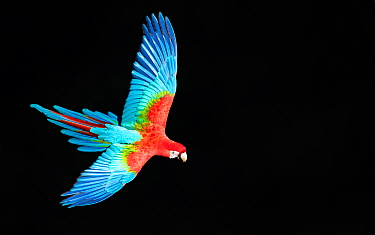 DUPLICATE Red-and-green Macaw (Ara chloropterus) in flight against dark background, Pantanal, Brazil.