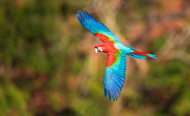 Red-and-green macaw (Ara chloropterus) in flight, Pantanal, Brazil.