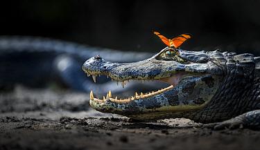 Yacare caiman (Caiman yacare) Julia heleconia (Dryas julia) Pantanal, Brazil.