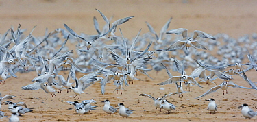 Common terns (Sterna Hirundo) on beach. Walvisbay, Namibia.