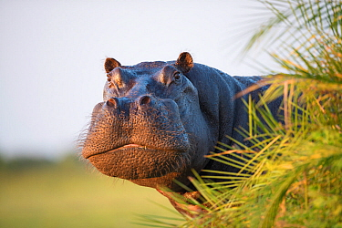 Hippopotamus (Hippopotamus amphibius) out of the water, peering around vegetation. Okavango Delta, Botswana.