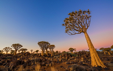 Quiver Tree forest, (Aloe dichotoma) at dusk. Keetmanshoop, Namibia.