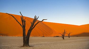 Ancient dead Camelthorn trees (Vachellia erioloba) with sand dunes, Namib desert, Deadvlei, Sossusvlei, Namibia.