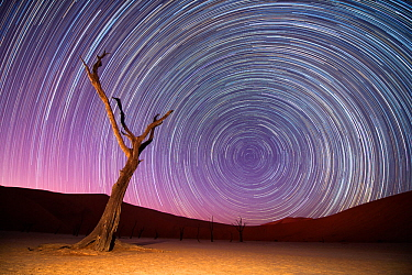 Ancient dead Camelthorn trees (Vachellia erioloba) with red dunes, and star trails, Namib desert, Sossusvlei, Namibia. Composite.