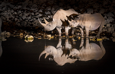 Black rhinoceros (Diceros bicornis) mother and calf having a drink at night with perfect reflections. Etosha National Park, Namibia. Taken with infrared camera.