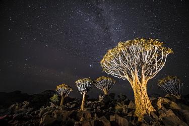 Quiver trees (Aloe dichotoma) with the Milky Way at night, Keetmanshoop, Namibia.