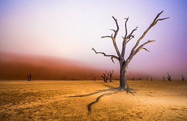 Ancient dead Camelthorn tree (Vachellia erioloba) trees with red dunes and mist, Namib desert, Deadvlei, Sossusvlei, Namibia. August 2015.